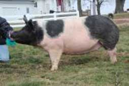 Platt Showpigs Bred Gilt Sale Results
