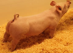 Online Show Pig Sale REsults